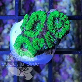 Acanthastrea Screaming Green - 5D4L190318