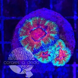 ACANTHASTREA RED&GREEN - 11B5L030919
