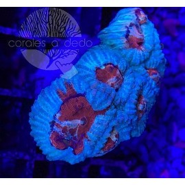 GONIASTREA-09A5LPS090221