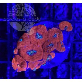 ACANTHASTREA RED-09A7LPS090221