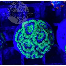 ACANTHASTREA GREEN-09A8LPS090221